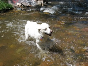 White dog playing in the creek